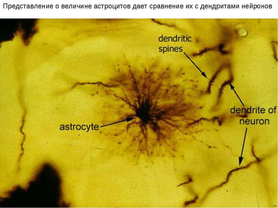 Представление о величине астроцитов дает сравнение их с дендритами нейронов