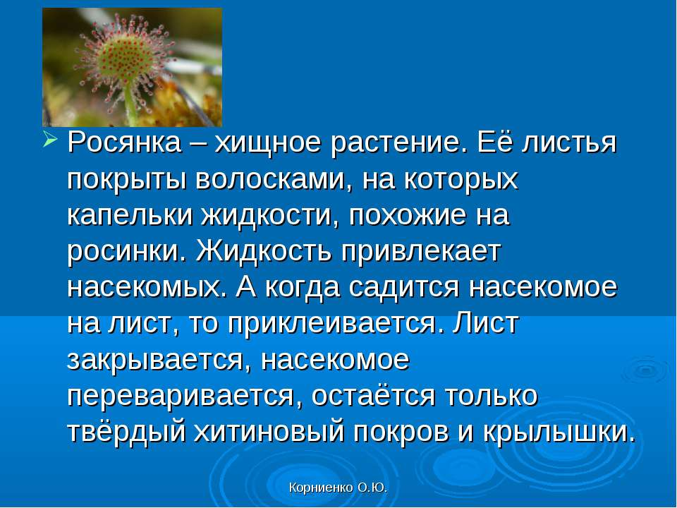 Корниенко О.Ю. Росянка – хищное растение. Её листья покрыты волосками, на кот...