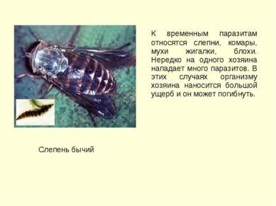 К временным паразитам относятся слепни, комары, мухи жигалки, блохи. Нередко ...