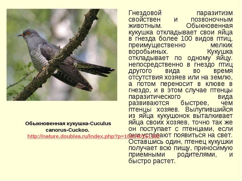 Гнездовой паразитизм свойствен и позвоночным животным. Обыкновенная кукушка о...