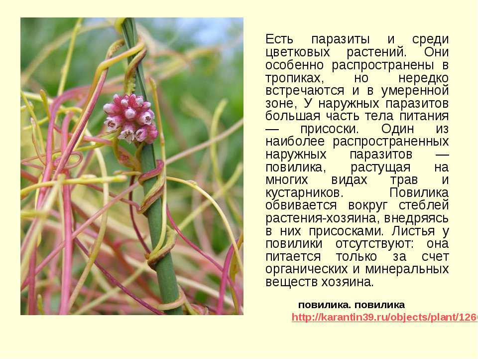 Есть паразиты и среди цветковых растений. Они особенно распространены в тропи...