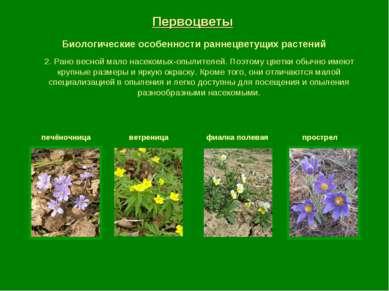 Первоцветы Биологические особенности раннецветущих растений печёночница ветре...