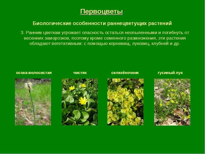 Первоцветы Биологические особенности раннецветущих растений осока волосистая ...