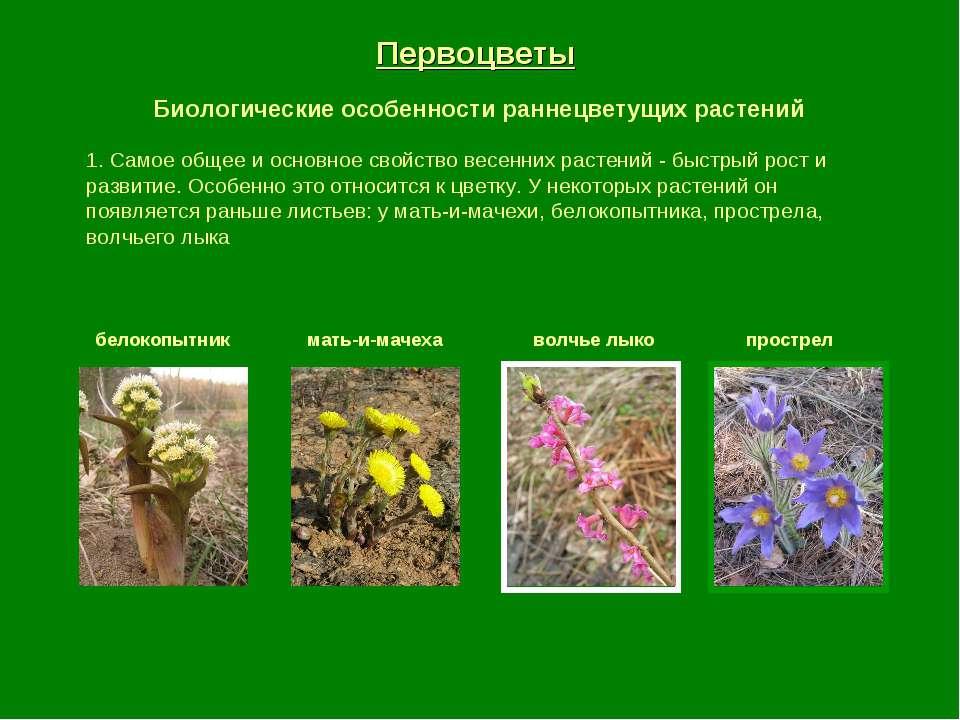 Первоцветы Биологические особенности раннецветущих растений 1. Самое общее и ...