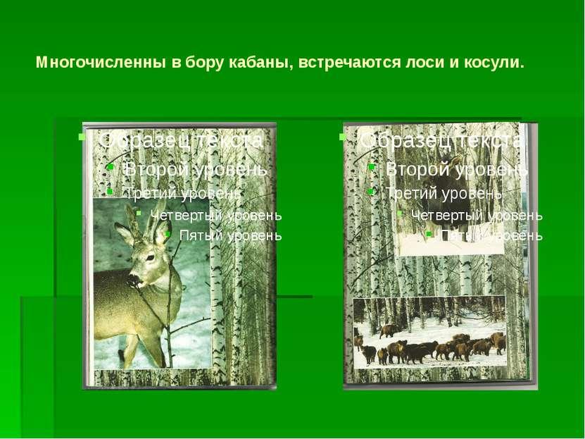 Многочисленны в бору кабаны, встречаются лоси и косули.