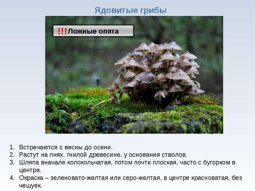 * Ядовитые грибы !!! Встречаются с весны до осени. Растут на пнях, гнилой дре...