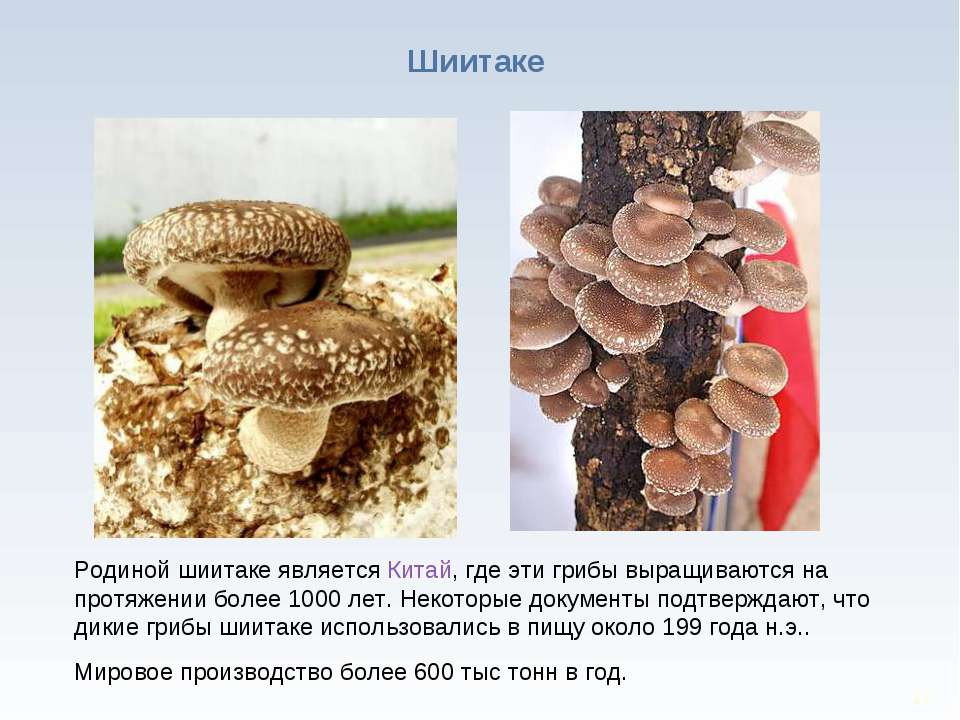 * Родиной шиитаке является Китай, где эти грибы выращиваются на протяжении бо...