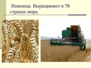 Пшеница. Выращивают в 70 странах мира.