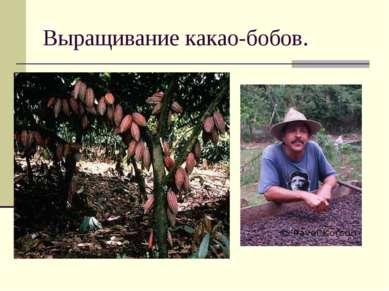 Выращивание какао-бобов.