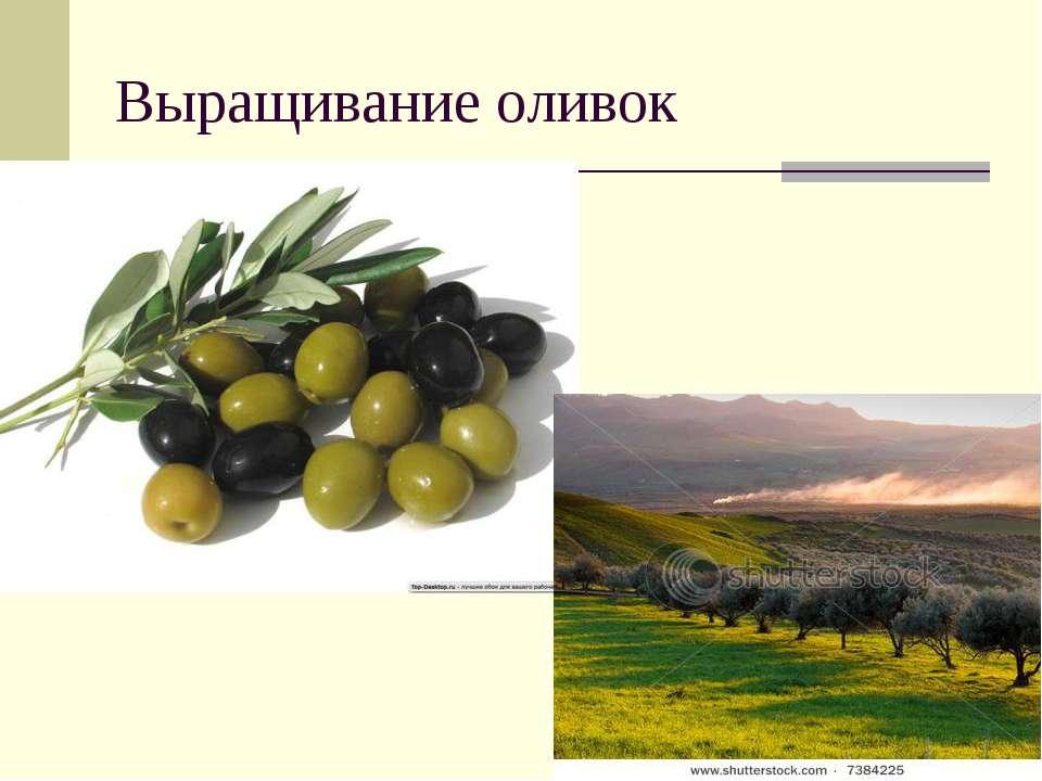 Выращивание оливок
