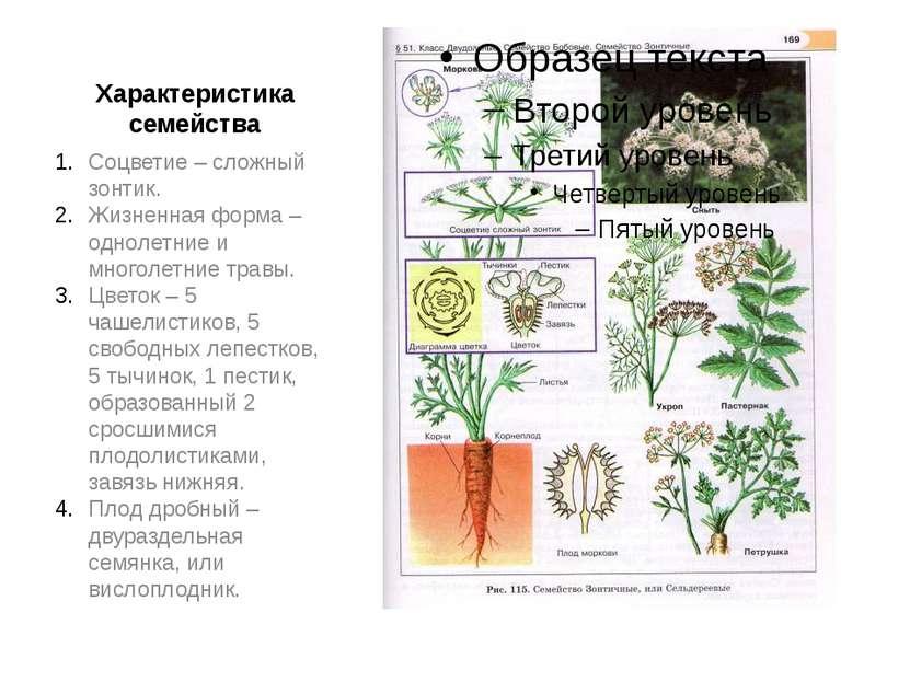 Характеристика семейства Соцветие – сложный зонтик. Жизненная форма – однолет...