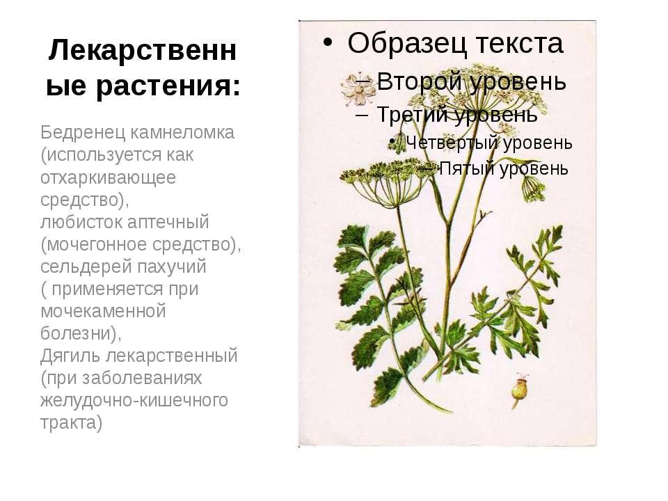 Лекарственные растения: Бедренец камнеломка (используется как отхаркивающее с...
