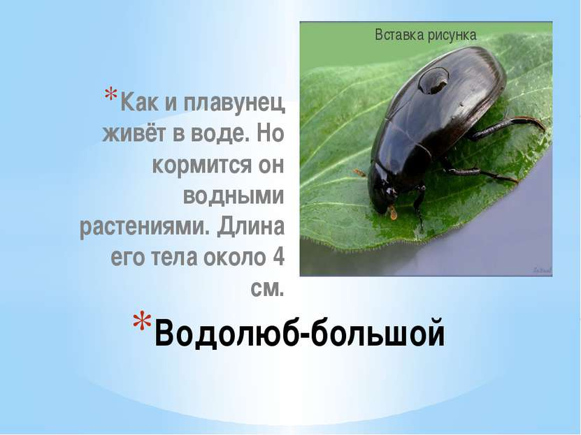 Как и плавунец живёт в воде. Но кормится он водными растениями. Длина его тел...