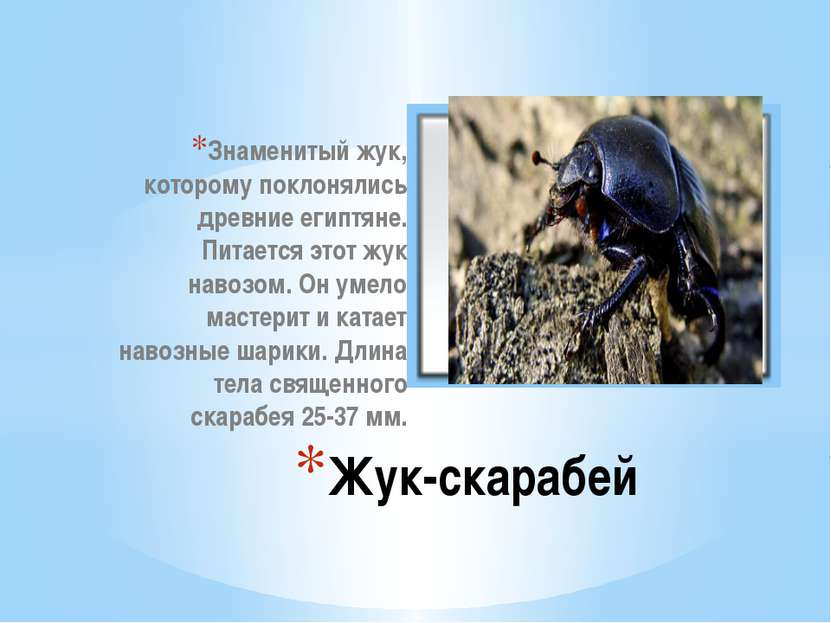 Знаменитый жук, которому поклонялись древние египтяне. Питается этот жук наво...