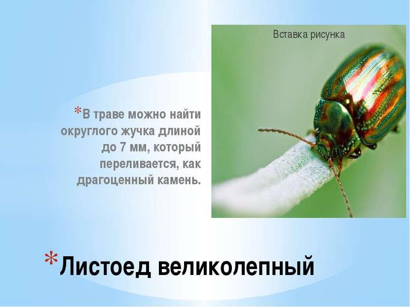 В траве можно найти округлого жучка длиной до 7 мм, который переливается, как...