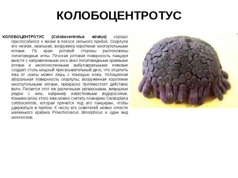 КОЛОБОЦЕНТРОТУС КОЛОБОЦЕНТРОТУС (Colobocentrotus atratus) хорошо приспособилс...