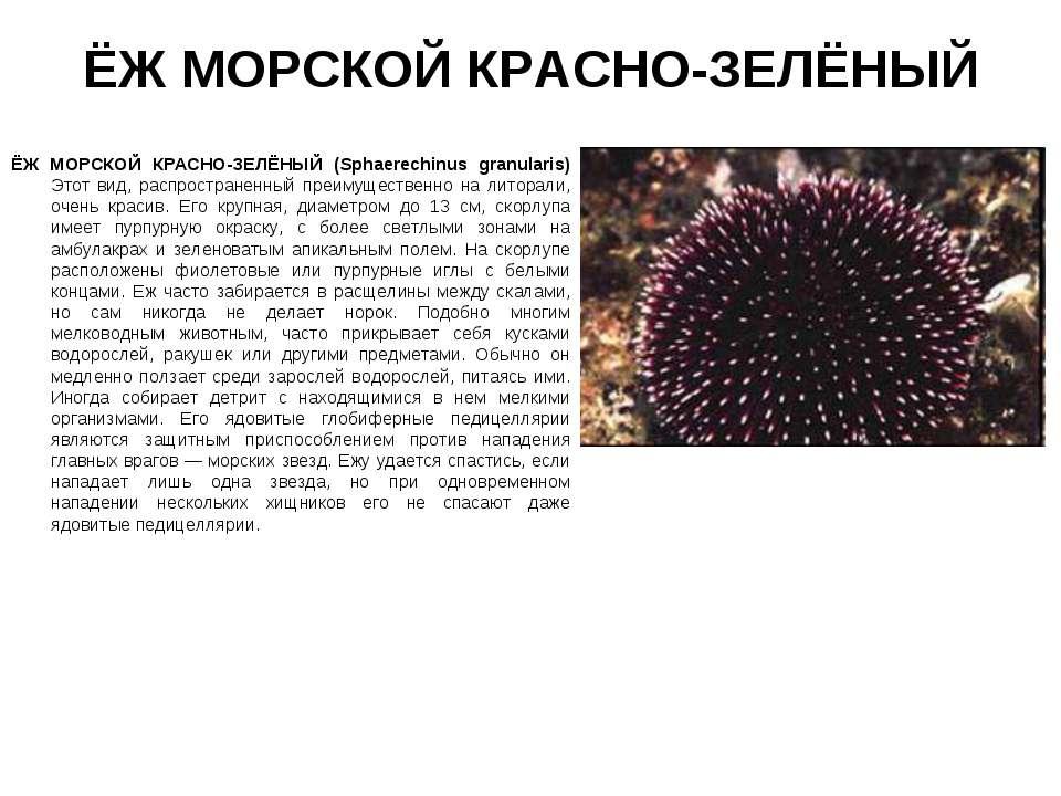 ЁЖ МОРСКОЙ КРАСНО-ЗЕЛЁНЫЙ ЁЖ МОРСКОЙ КРАСНО-ЗЕЛЁНЫЙ (Sphaerechinus granularis...