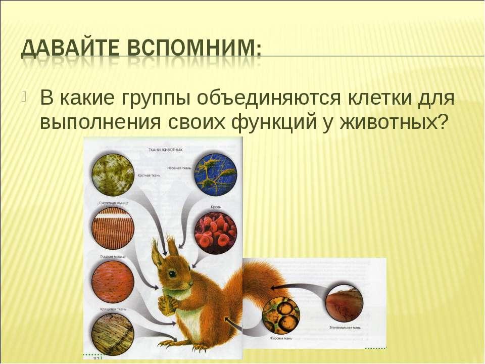 В какие группы объединяются клетки для выполнения своих функций у животных?