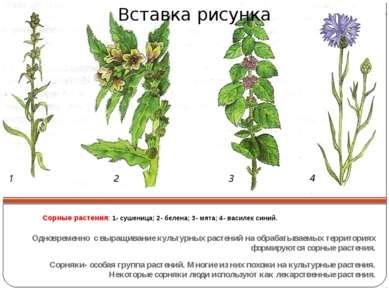 Сорные растения: 1- сушеница; 2- белена; 3- мята; 4- василек синий. Одновреме...