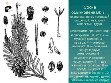 Сосна обыкновенная: 1 — охвоенная ветвь с женской шишечкой, мужскими колоскам...