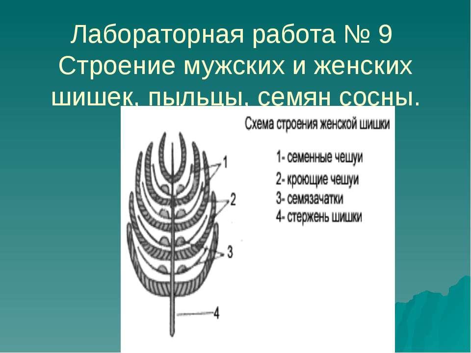 Лабораторная работа № 9 Строение мужских и женских шишек, пыльцы, семян сосны.