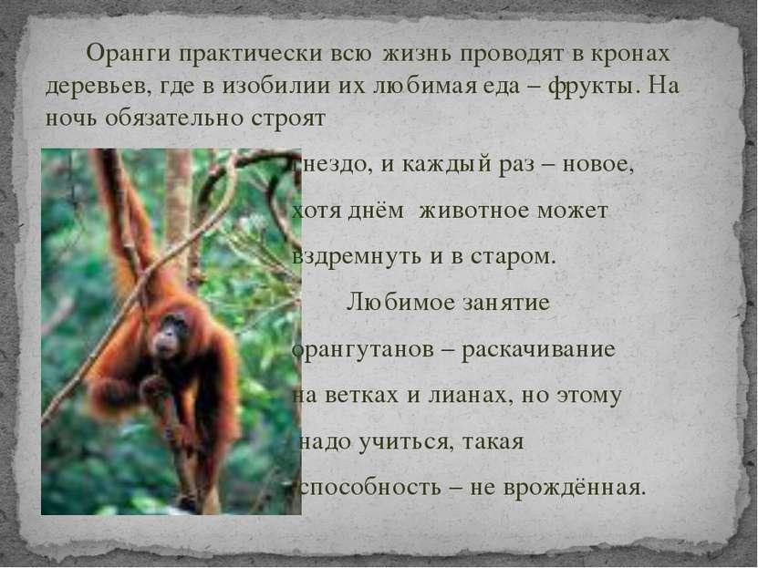 Оранги практически всю жизнь проводят в кронах деревьев, где в изобилии их лю...