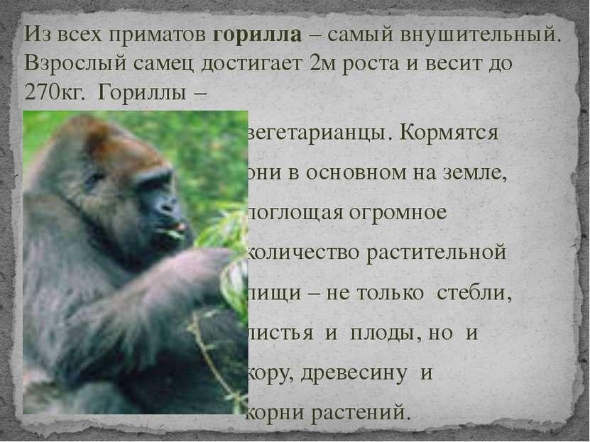 Из всех приматов горилла – самый внушительный. Взрослый самец достигает 2м ро...