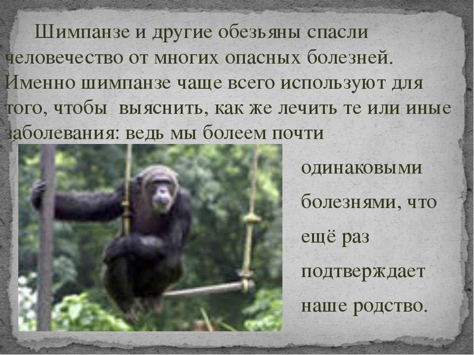 Шимпанзе и другие обезьяны спасли человечество от многих опасных болезней. Им...