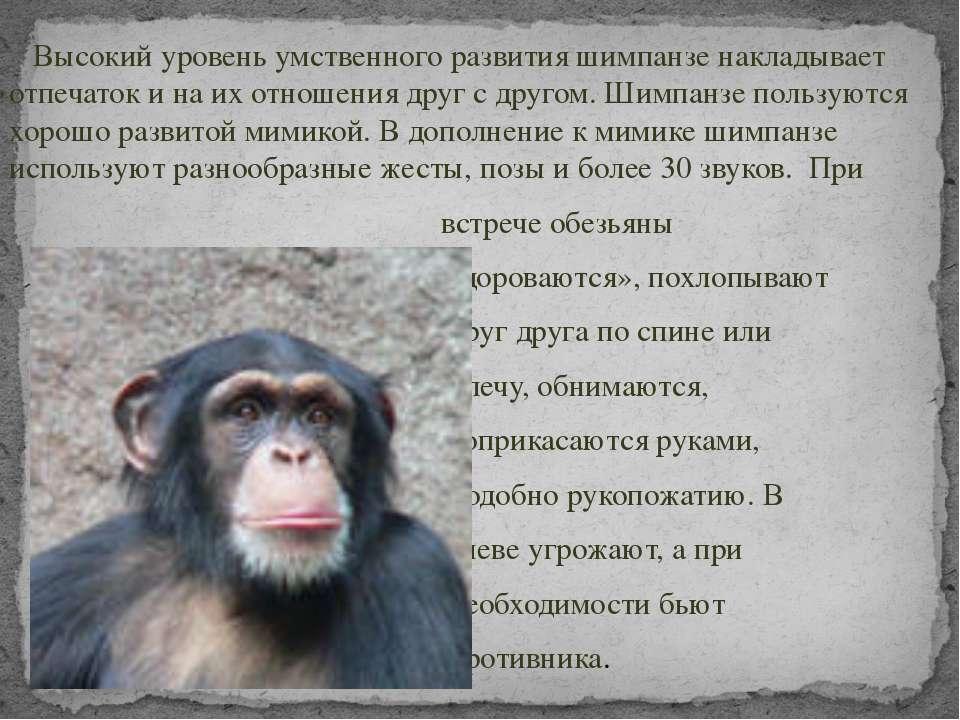 Высокий уровень умственного развития шимпанзе накладывает отпечаток и на их о...