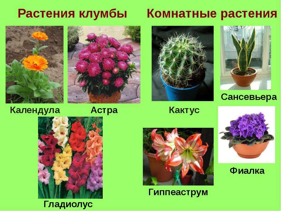 Растения клумбы Комнатные растения Кактус Астра Календула Сансевьера Гладиолу...