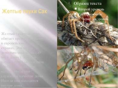 Желтые пауки Сак Желтый (золотой) паук обитает преимущественно в европейских ...