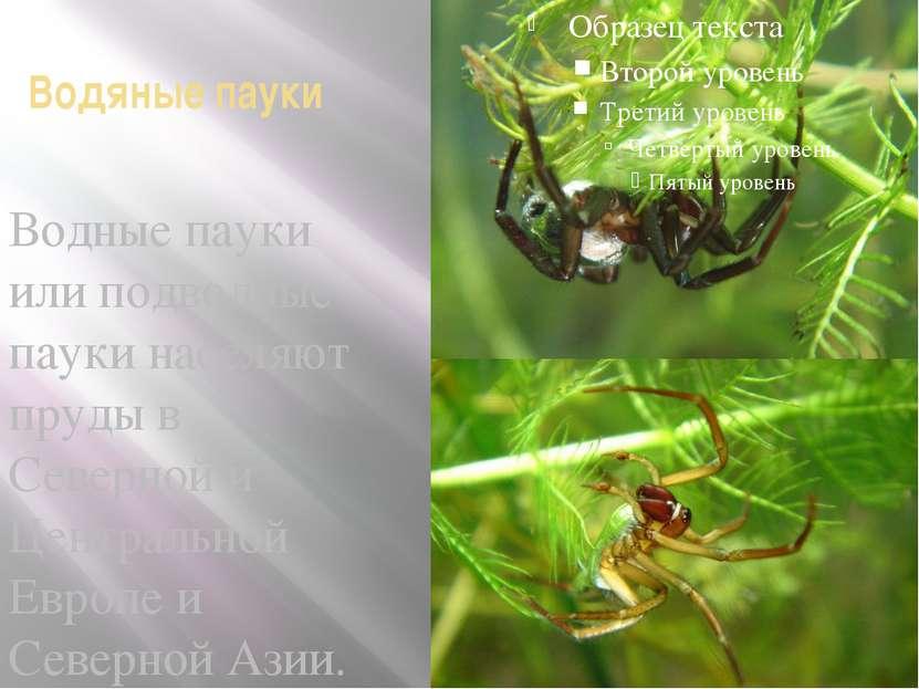 Водяные пауки Водные пауки или подводные пауки населяют пруды в Северной и Це...