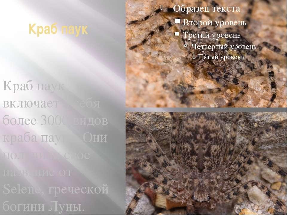 Краб паук Краб паук включает в себя более 3000 видов краба паука. Они получил...