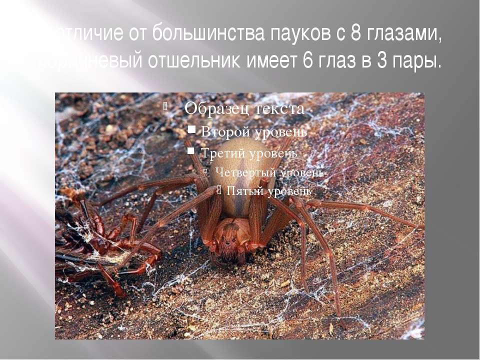 В отличие от большинства пауков с 8 глазами, коричневый отшельник имеет 6 гла...