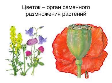 Цветок – орган семенного размножения растений