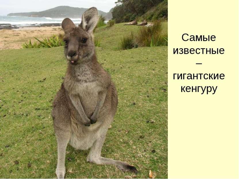 Самые известные – гигантские кенгуру