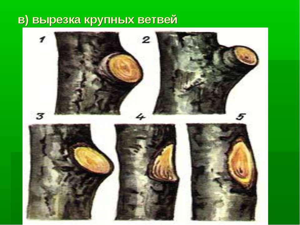 в) вырезка крупных ветвей