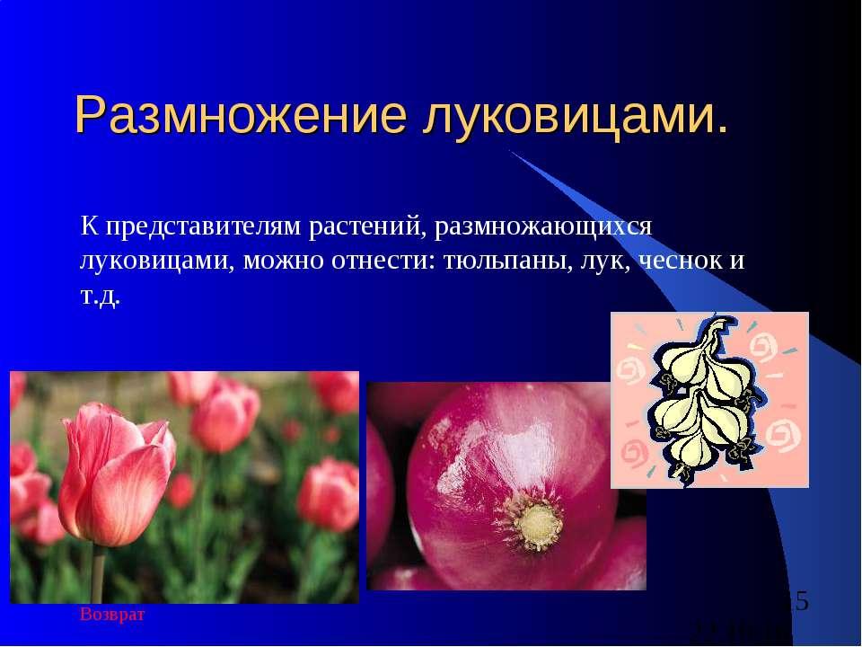 Размножение луковицами. К представителям растений, размножающихся луковицами,...