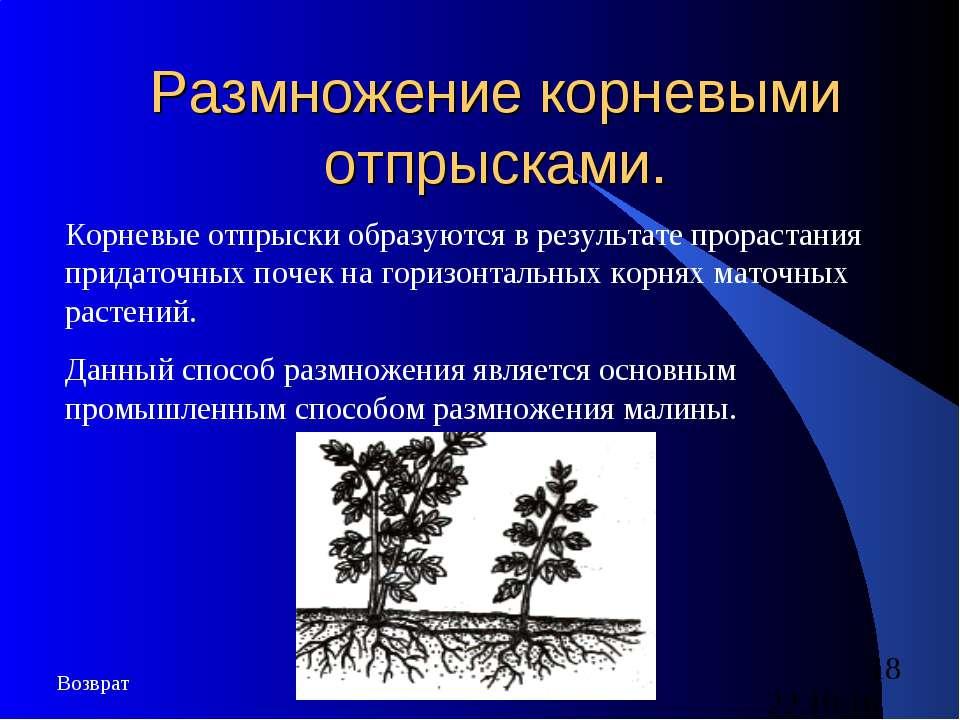 Размножение корневыми отпрысками. Корневые отпрыски образуются в результате п...