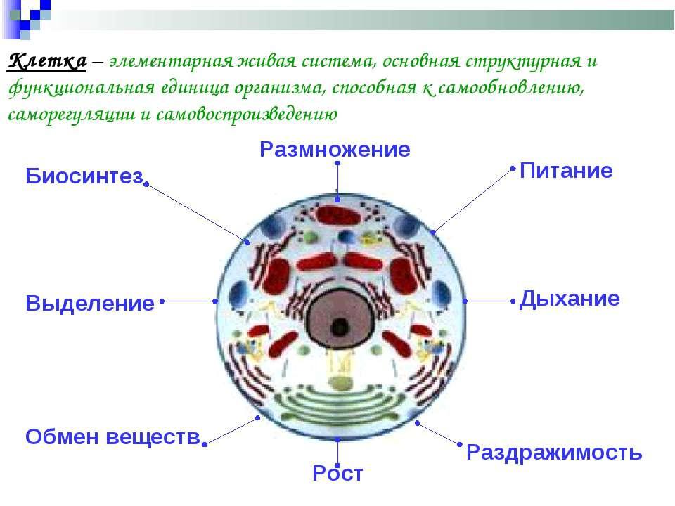 Клетка – элементарная живая система, основная структурная и функциональная ед...