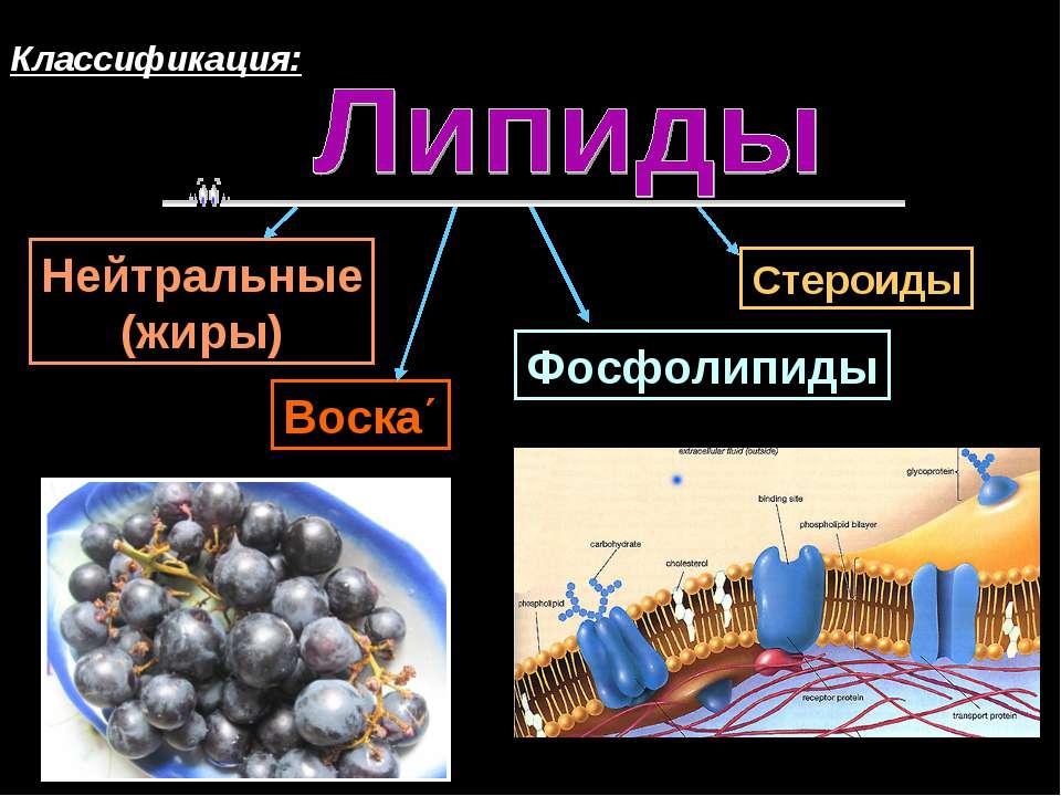 Классификация: Нейтральные (жиры) Воска΄ Стероиды Фосфолипиды