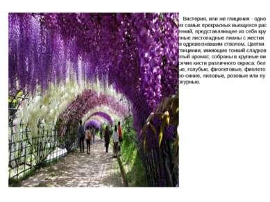 Вистерия, или же глициния - одно из самых прекрасных вьющихся растений, предс...