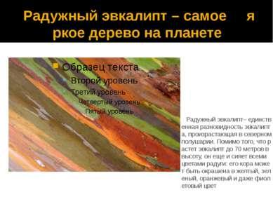 Радужный эвкалипт – самое яркое дерево на планете Радужный эвкалипт– единстве...