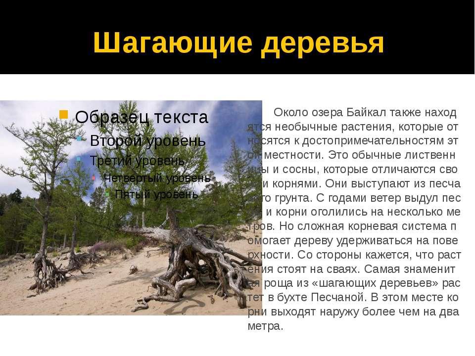 Шагающие деревья Около озера Байкал также находятся необычные растения, котор...
