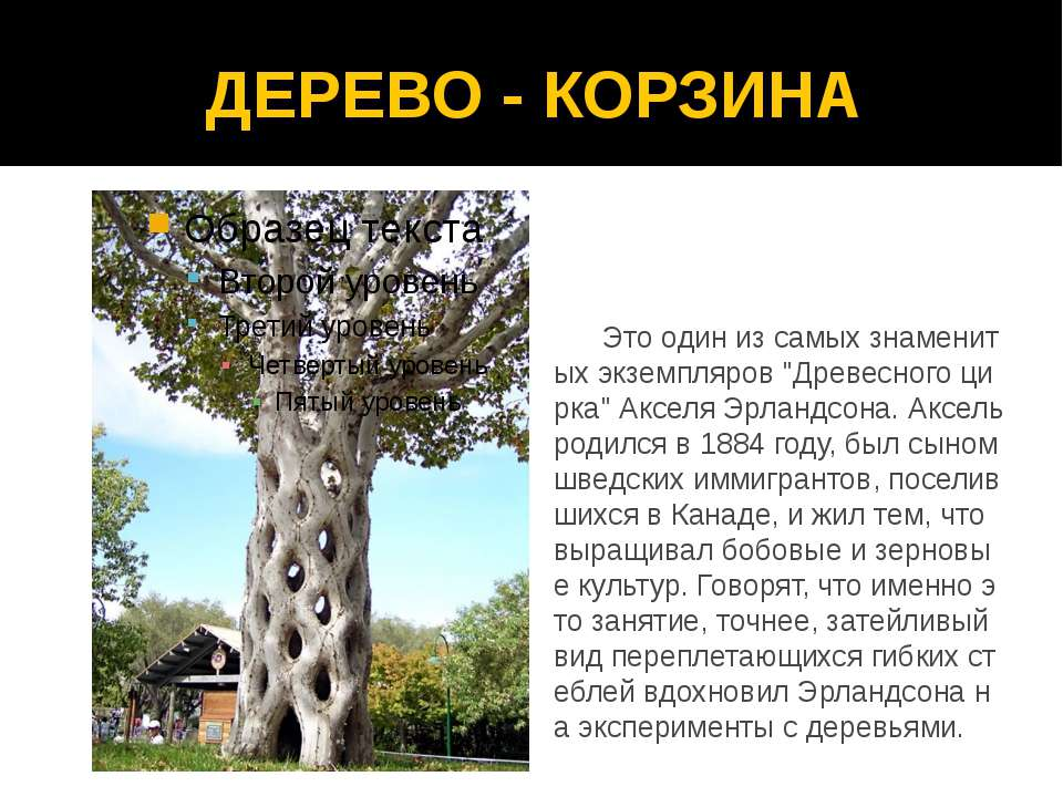 """ДЕРЕВО - КОРЗИНА Это один из самых знаменитых экземпляров """"Древесного цирка"""" ..."""