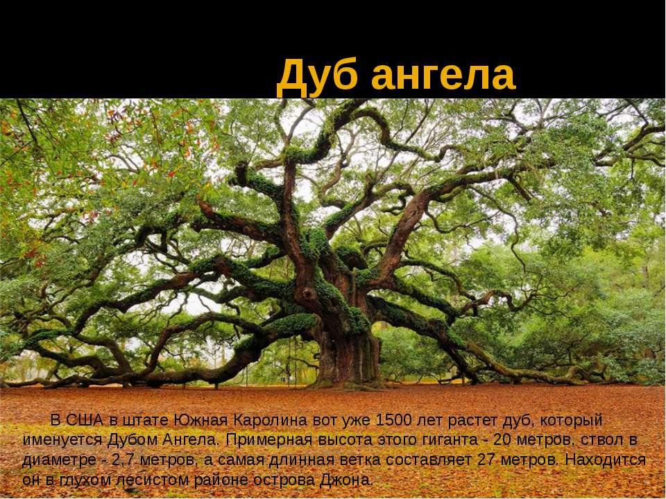 Дуб ангела В США в штате Южная Каролина вот уже 1500 лет растет дуб, который ...