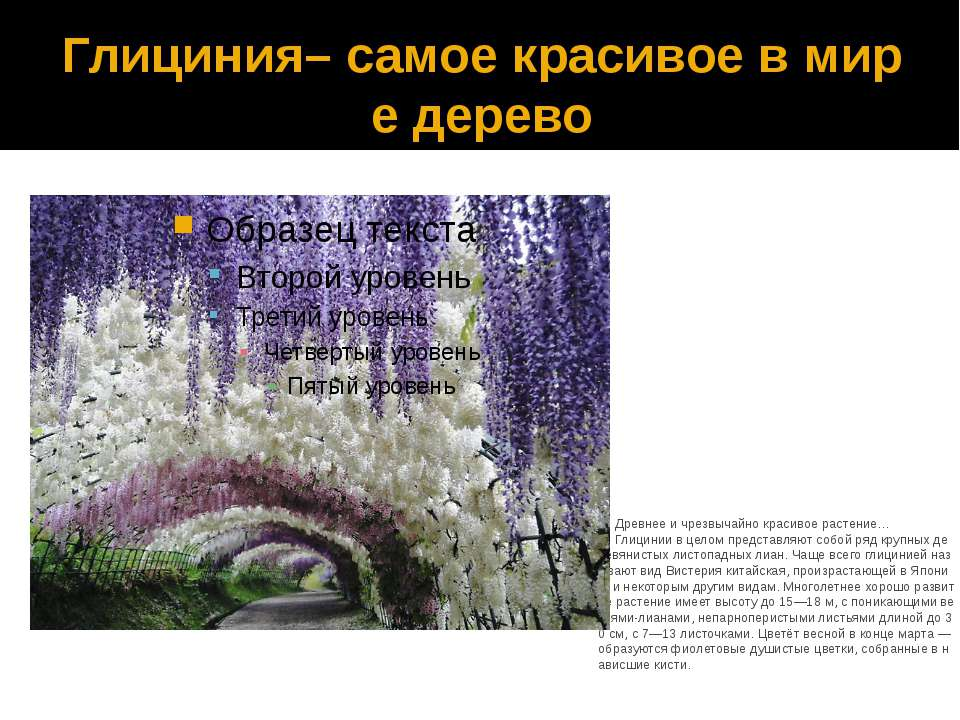 Глициния– самое красивое в мире дерево Древнее и чрезвычайно красивое растени...