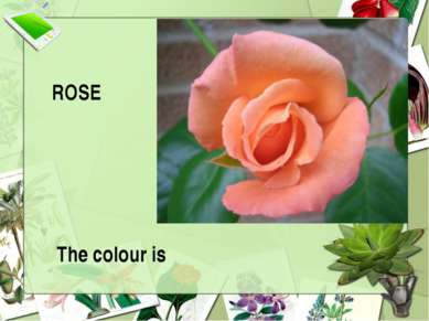ROSE The colour is
