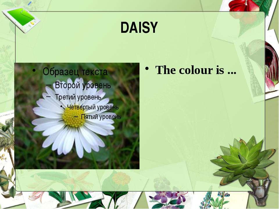DAISY The colour is ...