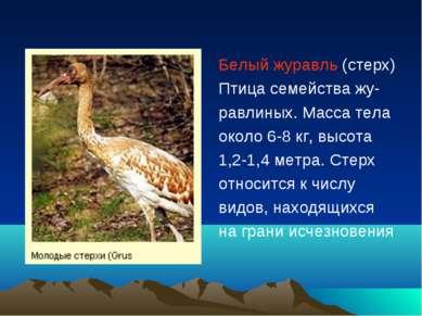 Белый журавль (стерх) Птица семейства жу- равлиных. Масса тела около 6-8 кг, ...